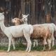 Alpaces en Peru