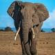 La fea verdad: Por qué un paseo en elefante no es divertido.